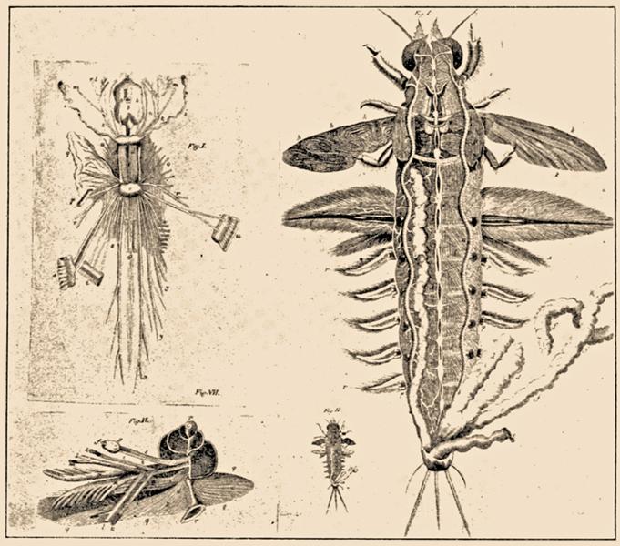 図3.巻貝、イカ、昆虫の知られる限り最も古い脳と神経系の解剖図(1737〜1738年、ヤン・スワンメルダム『自然の書』より)。