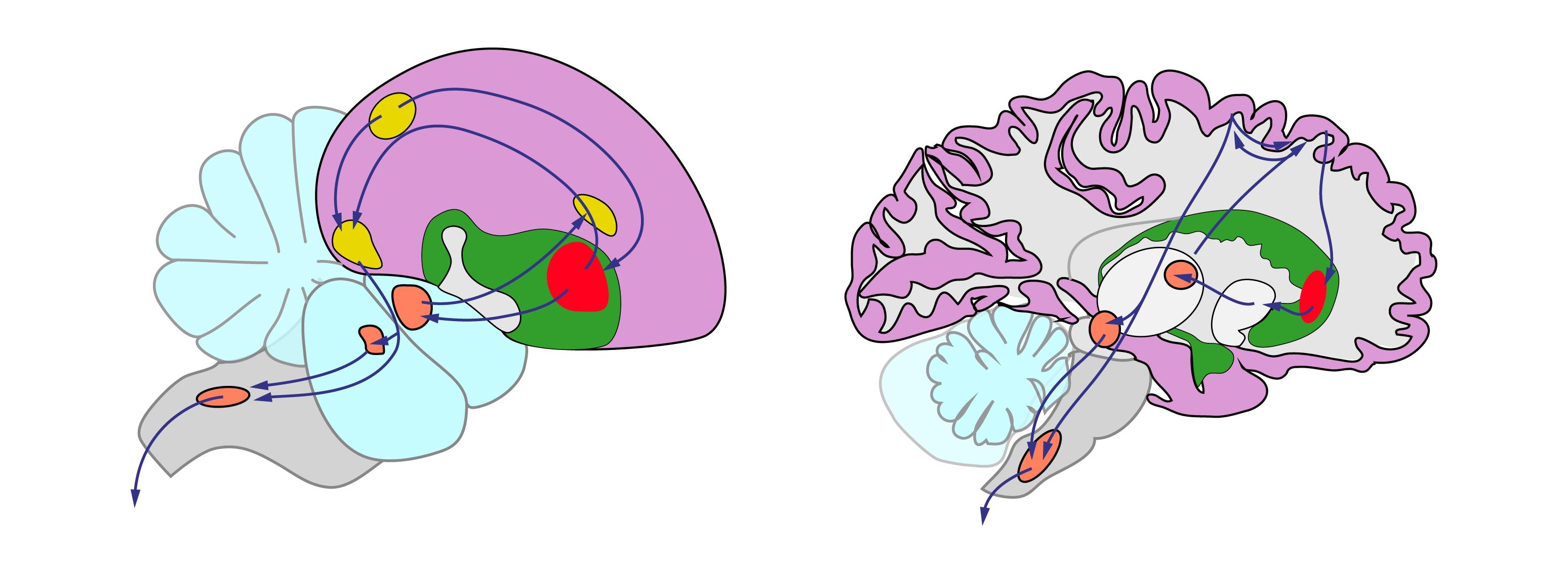 図6.小鳥とヒトの脳。大脳皮質や基底核などの領域は似た遺伝子の発現と神経の回路構造を持つ。 Pfenning, A.R.,ら(2014)の論文から改変