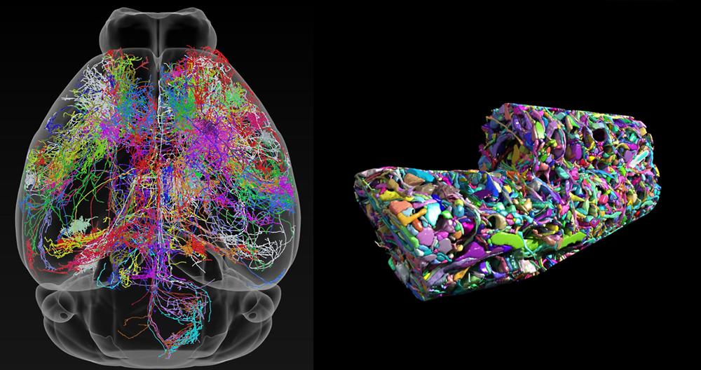 図8.マウスの脳と神経回路。