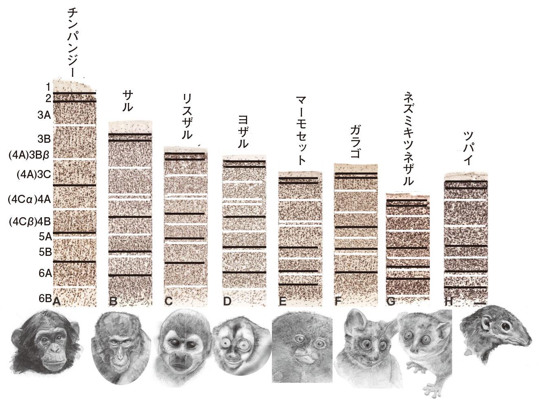 図3.様々な哺乳類の大脳皮質。皮質6層構造は哺乳類で保存されている(霊長類では6A,Bなどのサブレイヤーが存在する。また、鯨類では4層が認められない)。[Balaramら(2014)より作成]