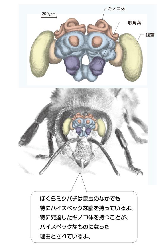 昆虫の脳の特徴3選