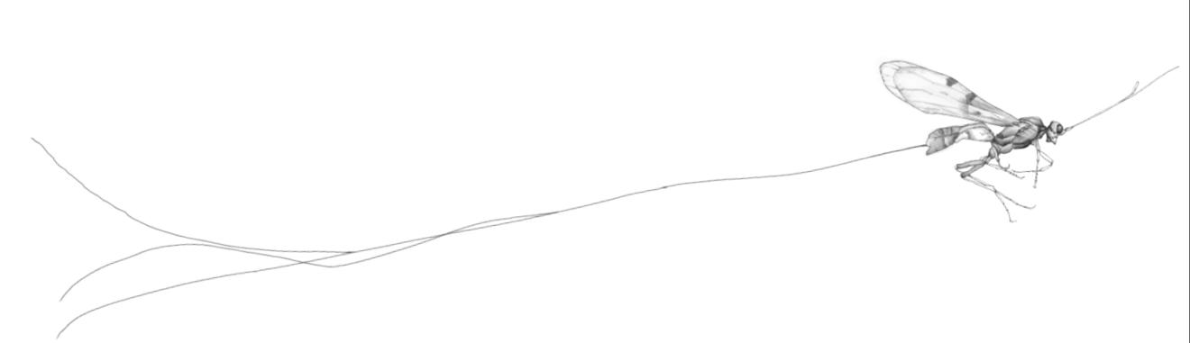 ウマノオバチ