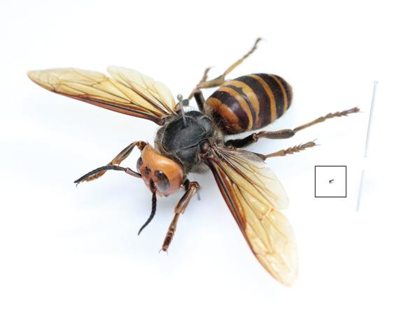 「世界最大級のハチ」とは?(一色出版のメルマガ)