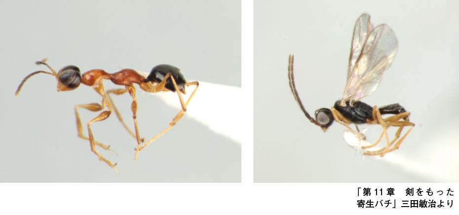 カマバチ雌雄