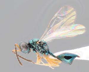 コガネコバチの一種、Sphegigaster hamugurivoraのメス