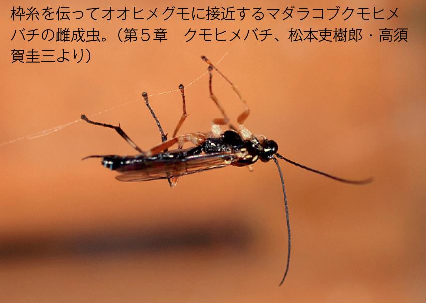 マダラコブヒメクモバチ