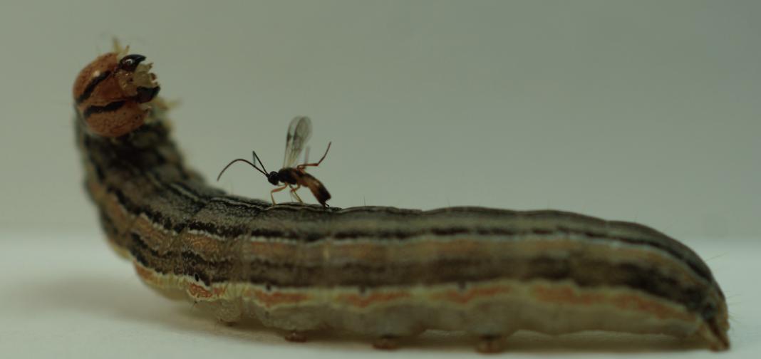 parasiticwasp06-03