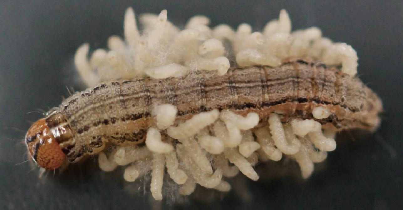 parasiticwasp06-04