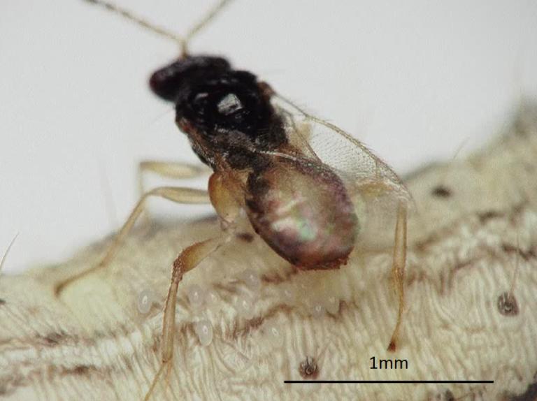 図4.アワヨトウ幼虫から脱出しているカリヤサムライコマユバチ3齢幼虫。