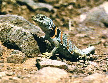 Collared_lizard_in_Zion_National_Park