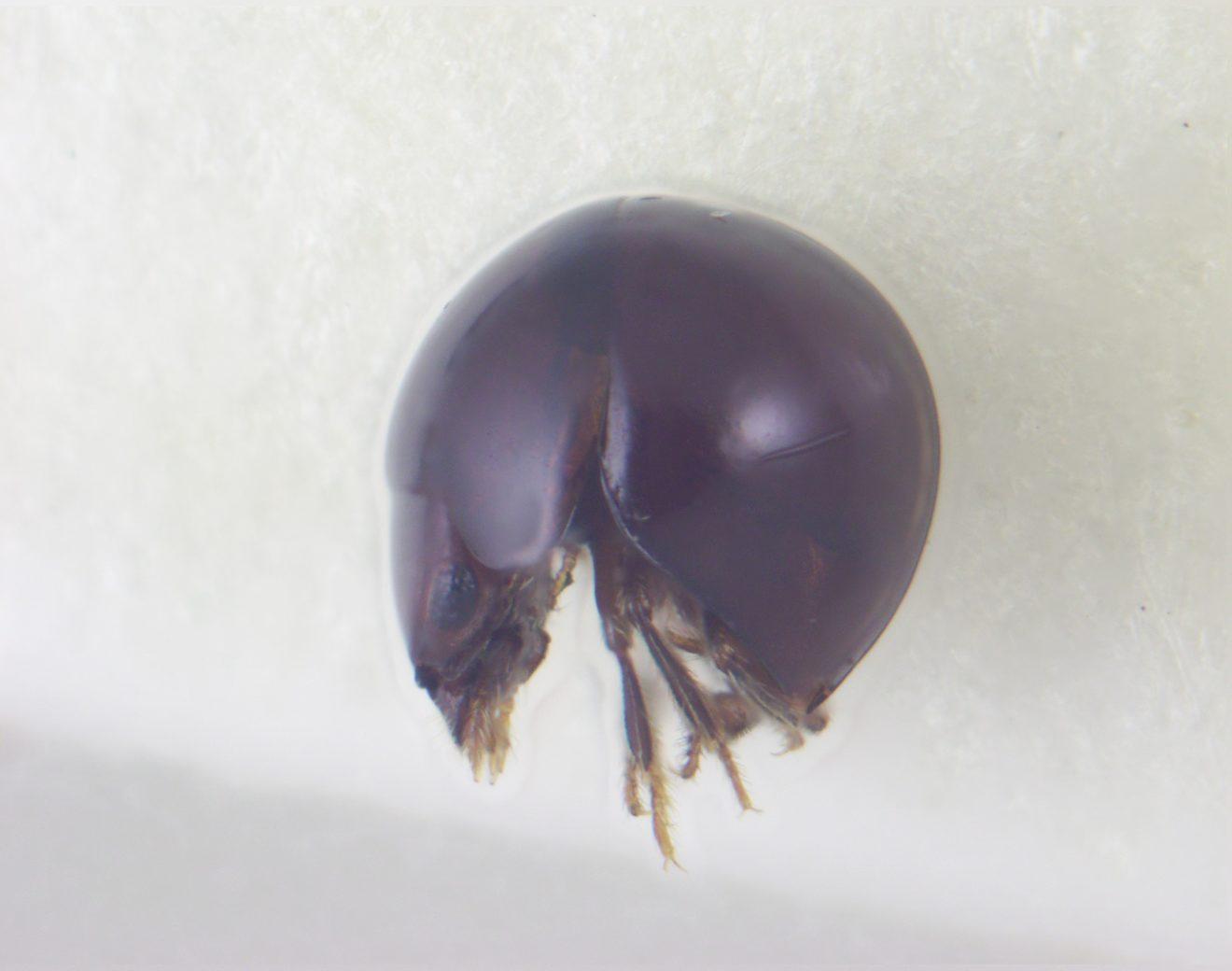 ナルサワマルタマキノコムシ
